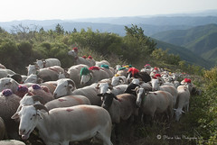 Arrivee au col 0122 (hervv30140) Tags: france art nature landscape artwork sheep pass paysage herd col mouton languedoc gard brebis transhumance cvennes troupeau asclier
