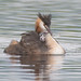 Two grebe chicks on board