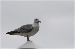 190 - Mr Grumpy (North Light) Tags: bird scotland poleposition caithness kingofthecastle scrabsterharbour gullonastick