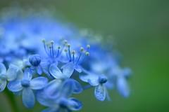 (myu-myu) Tags: blue flower nature japan nikon hydrangea mygarden   d800