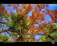 Colours of Autumn VI (tomraven) Tags: blue autumn trees orange green fall colours ferns ferntree j5 nikon1 tomraven aravenimage q22016