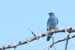 Mountain bluebird, Sialia currucoides (jlcummins - Washington State) Tags: bird nature canon hike backpack washingtonstate kittitascounty mountainbluebird ironpeak sialiacurrucoides ironpeaktrail