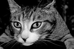 Holding on (Z) Tags: bw white black cat holding hug chat noir tabby kitty gato cuddle katze gatto blanc tigre kot bearhug cwtch sparkey