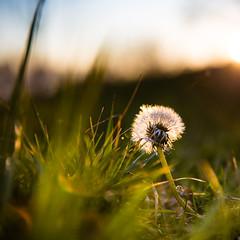 Akène à tons crépusculaires (Zeeyolq Photography) Tags: sunset france flower nature grass akène