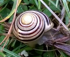Snail 004 (Sensation Art Gallery) Tags: nature spiral shell snail naturalworld slimy mollusc heysham sunnyslopes