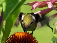 hummingbird at coneflower (Hayseed52) Tags: hummingbird coneflower light color flower outdoor nature bird