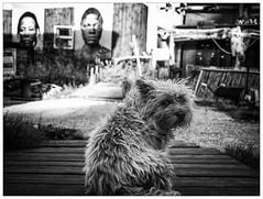 Ik heb portretrecht !! (Harry -[ The Travel ]- Marmot) Tags: holland nederland netherlands dutch hollands nl amsterdam mokum stadsarchief stad city urban stedelijk stads olympusomdem5 allrightsreservedcontactmebyflickrmail zwartwit blackandwhite bw monochroom monochrome schwarzweis amsterdamnoord deceuvel sustainable environment duurzaam startup hond hondje dog doggie sad eyes sweet adorable lief portret portrait grunge dier animal