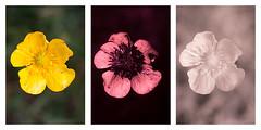 Ranunculus acris (Meadow buttercup) Vis UV IR comparison (davidkennardphoto) Tags: life plants buttercup ranunculus infrared plantae ultraviolet ranunculaceae buttercups vitae floweringplants ranunculusacris meadowbuttercup irphotography magnoliophyta magnoliopsida ranunculales angiosperms biota eukaryota dicotyledons tallbuttercup uvphotography