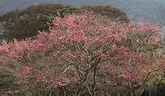 Tree Dressed in Solid Pink (gjmata2002) Tags: flowers flores tree venezuela caracas miranda chdk darktable