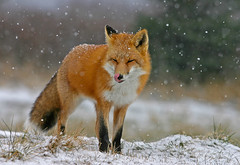 Red Fox In Snow Storm - Licking Snow Flakes from Its Nose (AlaskaFreezeFrame) Tags: winter snow cute nature animals alaska canon outdoors frost wildlife telephoto fox sly predator mammals zorro vixen carnivore redfox alaskafreezeframe