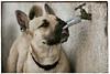 Pig Face (hbmike2000) Tags: hairy dog funnyface water face puppy nose nikon beware lick faucet d200 independence makingfaces inde spicket hss waterfaucet carolinadog americandingo turnedup sliderssunday hbmike2000 dogchal