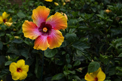 Colorful Hibiscus (JackieN88) Tags: pink flowers red orange plants plant flower green nature colors yellow garden spring rainbow colorful florida outdoor hibiscus centralflorida leugardens centralfl