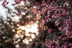 Cherry Blossoms 1 (thethomsn) Tags: wood pink trees light sun nature backlight germany cherry bavaria 50mm spring ast branch blossom bokeh explore cherryblossoms dreamy frhling blten kirschblten thethomsn