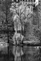 Willow Vertical I bw (Joe Josephs: 2,861,655 views - thank you) Tags: newyorkcity water spring centralpark pools waterreflections willowtrees travelphotography landscapephotography outdoorphotography springcolor joejosephsphotography fujifilmxt1 joejosephs2015 joejosephs2015 zeisstouit50f28macro