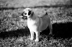 My cousin's new pug (bryansheehy1) Tags: blackandwhite dog puppy pug ilford fp4 yashica ilfordfp4 yashicatlelectrox yashinon50mm17