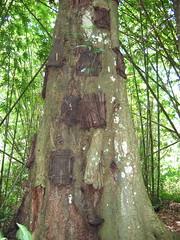 Baby Grave Trees in Toraja