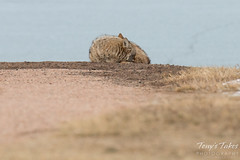 Male coyote rests in the open