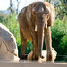 Elephant Looking Forward