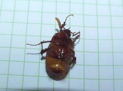 Scarabaeidae>Rhopaea magnicornis? Brown Cockchafer DSCF7232 (Bill & Mark Bell) Tags: exmouth westernaustralia australia geo:town=exmouth geo:state=westernaustralia geo:country=australia geo:lon=11425453egeolat2217752sgeoalt8m 11425453e2217752salt8m taxonomy:kingdom=animalia animalia taxonomy:phylum=arthropoda arthropoda taxonomy:class=insecta insecta taxonomy:order=coleoptera coleoptera taxonomy:family=scarabaeidae scarabaeidae taxonomy:genus=rhopaea rhopaea magnicornis taxonomybinomialnamerhopaeamagnicornis rhopaeamagnicornis taxonomycommonnamebrowncockchafer browncockchafer insect animal fauna beetle