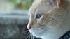 Mr Blue Eyes (I Flickr 4 JOY) Tags: blue cat blueeyes sole pest flamepointsiamese cameratrial mrblueeyes thepest nikond90