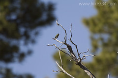 "Black-chinned Hummingbird • <a style=""font-size:0.8em;"" href=""http://www.flickr.com/photos/63501323@N07/16826955447/"" target=""_blank"">View on Flickr</a>"