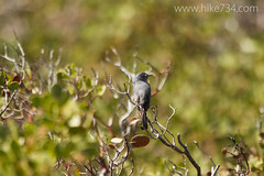 "Blue-gray Gnatcatcher • <a style=""font-size:0.8em;"" href=""http://www.flickr.com/photos/63501323@N07/16846836380/"" target=""_blank"">View on Flickr</a>"
