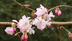 springflowers with smartphone (hlh 1960) Tags: pink flower nature germany march spring ast natur smartphone märz frühling blüten mandelblüte