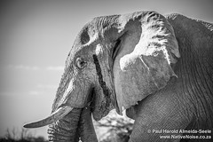 Elephant In Etosha National Park, Namibia