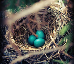 Hidden Away (Jayne Reed) Tags: robin birds nest eggs