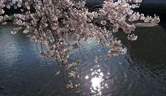White On White (Bricheno) Tags: abbey river scotland spring blossom escocia cart paisley szkocja schottland whitecart scozia cosse whitecartwater paisleyabbey  esccia   bricheno scoia