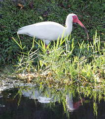 04-18-15-000006124.jpg (Lake Worth) Tags: bird nature birds animal animals canon wings florida wildlife feathers wetlands everglades waterbirds southflorida canonef70200mmf28lisiiusmlens