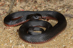 Juvenile Red-bellied Black Snake (Pseudechis porphyriacus) (Mattsummerville) Tags: snake bluemountains juvenile venomous pseudechisporphyriacus redbelliedblacksnake elapid