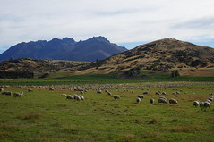 Endless Sheep on the South Island, New Zealand (Travel Seer) Tags: new travel mountain nature animal animals landscape sheep farm zealand