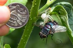 Giant fly & spider (Jbdorey) Tags: macro nature gardens botanical james spider fly arachnid australian brisbane diptera dorey mtcootha jbdorey
