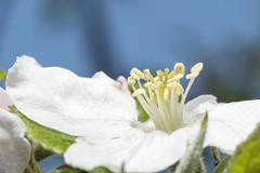 ALLURE (Rainer ) Tags: color macro spring 60mm makro frhling appleblossom apfelblte unsergarten rainer aprilsonne