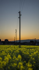 Rapeseed in sunset (Oberson Robin) Tags: sunset sun nature robin yellow landscape photography golden sonnenuntergang sony natur gelb hour oil posts landschaft sonne raps goldene rapeseed roberson oel stunde a99 oberson
