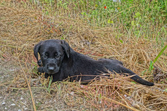 """junghund_labrador • <a style=""""font-size:0.8em;"""" href=""""http://www.flickr.com/photos/137809870@N02/26307935114/"""" target=""""_blank"""">View on Flickr</a>"""