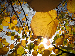 Otoo3 (mauro.tch) Tags: autumn winter orange cold color leaves leaf nikon coolpix otoo