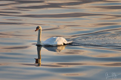 Swan (Simon Jolly) Tags: sunset bird water scotland swan sony alpha cromarty slt firth invergordon a77v