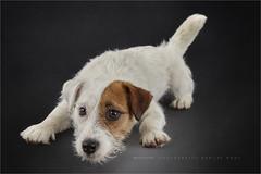 Funchi (Marijke M2011) Tags: dog pet cute love animal puppy studio friend indoor canine hond jackrussell huisdier jackrussellterrier petportrait dogportrait studiolightning roughcoatedjackrussellterrier hondenportret