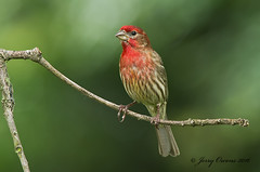 8390 (JerrysPhotographs) Tags: bird wildlife finch arkansas housefinch