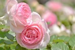 "rose, ""Pierre de Ronsard"" (snowshoe hare*(slow)) Tags: flowers rose botanicalgarden バラ pierrederonsard dsc0756 frenchrose ピエール・ド・ロンサール 海の中道海浜公園"