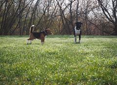 Buddies in a dewy meadow (velvetmeadow) Tags: morning dog beagle dogs grass meadow dew morningwalk grassfield inthemeadow velvetmeadow
