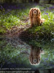 PAWS FOR REFLECTION (barbara.jackson55) Tags: reflection dogs bluebells spring leicestershire northants warwickshire hinckley marketbosworth petphotographer dogphotographer earlshilton burbagecommon canon5diii happypetsphotography