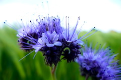 putting out feelers (nelesch14) Tags: summer flower macro green nature purple blossom bokeh antenna feelers lacyphacelia purpletansy tansyphacelia