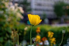 Pavot de Californie (Escholtzia) (::nicolas ferrand simonnot::) Tags: auto orange paris green field yellow 35mm vintage de lens bokeh mount mc h m42 manual f18 depth californie | pavot weitwinkel 2016 porst escholtzia