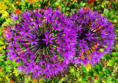 Allium: Fireworks of a differen kind (peggyhr) Tags: canada vancouver bc purple allium floralfantasy thegalaxy perfectpetals peggyhr iphone6 thegalaxyhalloffame niceasitgets~level1 rainbowofnaturelevel1red cocoonofdreamslevel1 cocoonofdreamslevel3 cocoonofdreamslevel2