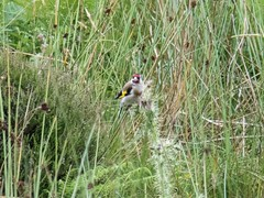 European Goldfinch (Makgobokgobo) Tags: bird europe shropshire unitedkingdom goldfinch finch longmynd cardueliscarduelis europeangoldfinch carduelis cardingmill