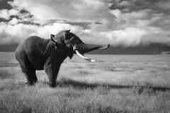 IMG_45931 (EladeManu) Tags: elephant tanzania dance go wolken twist tanz scream sw elefant weiss twisted let luft schwarz sneeze grazie stimmung tanzen niesen allergies elegance gedreht gesundheit wende schreien eleganz anpfiff biegen drehung heuschnupfen loslassen trten dynamisch tr wendung luftstoss