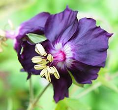 Purple (Martha-Ann48) Tags: flowers plants yellow garden petals purple mourning blossoms stamens blooms geranium widow